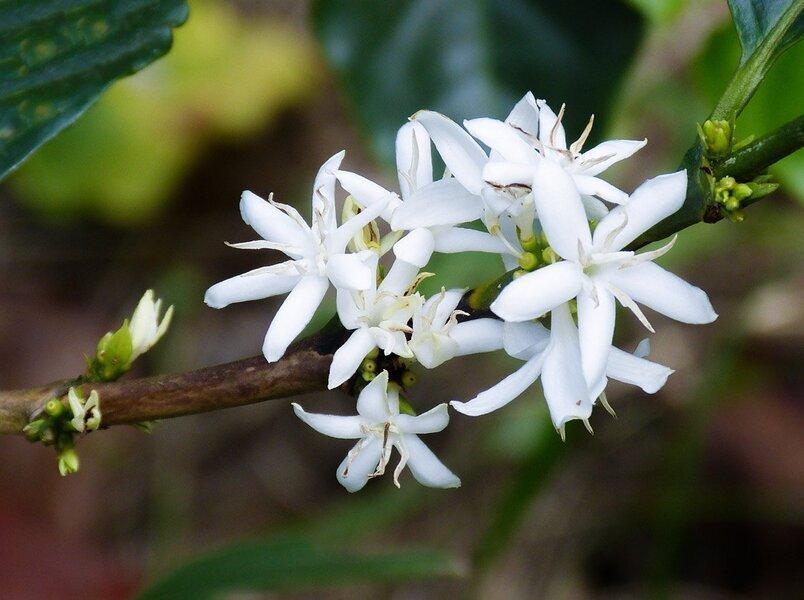 кофейное дерево фото цветок